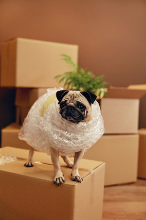 Photo pour Moving House. Funny Dog On Carton Box In Room. High Resolution. - image libre de droit