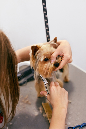 Dog Gets Hair Cut At Pet Spa Grooming Salon. Closeup Of Dog Face While Groomer Cutting Hair With Scissors. High Resolution