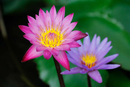two Lotus flower and Lotus flower plants