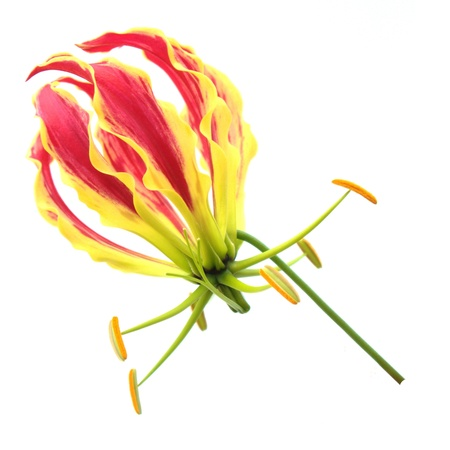 Flame Lily Isolated on White Background