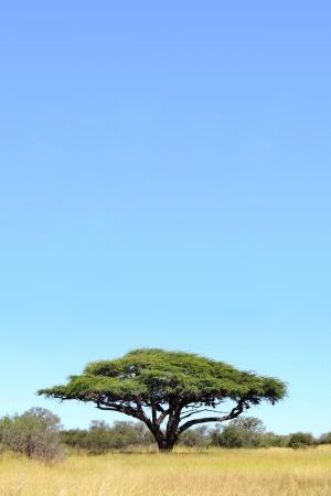 Foto de A single Acacia tree against a blue sky, photographed in Hwange National Park, Zimbabwe, Africa - Imagen libre de derechos