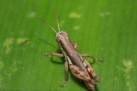 Photo pour Grasshopper with brown color on the leaves - image libre de droit