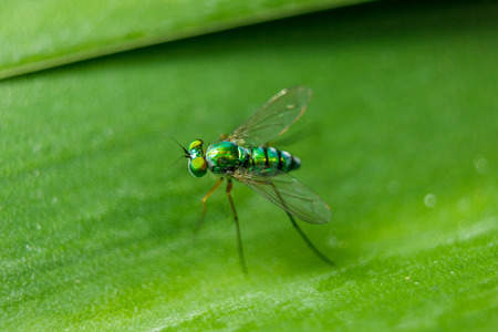 Photo for Dolichopodidae on the leaves are small, green body. - Royalty Free Image
