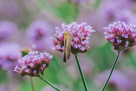 Photo pour Butterflies on Verbena are blooming and beautiful in the rainy season. - image libre de droit
