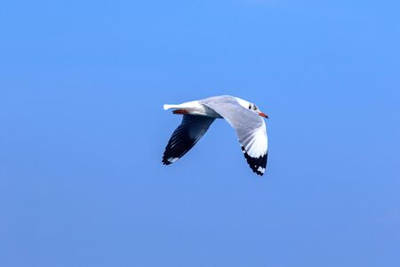 Photo for Seagulls flying in the blue sky, Seagulls are seagulls, Seagulls are medium sized birds. The tip of the wing feathers are black. - Royalty Free Image