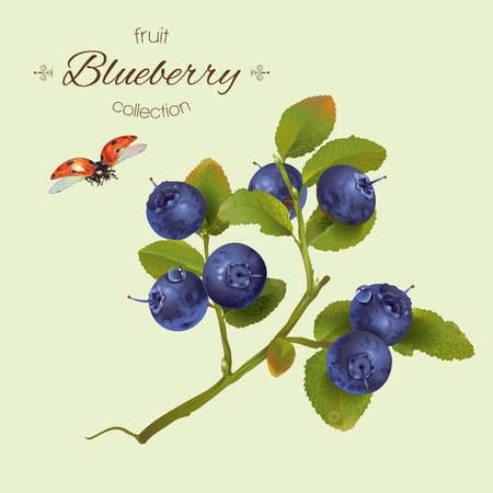 Illustration pour realistic illustration of blueberry with leaves.Isolated on light green background.Design for grocery, farmers market, natural cosmetics, aromatherapy,pastries and sweets filled with blueberry. - image libre de droit