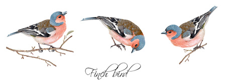 Illustration pour Vector realistic highly detailed illustration set of finch bird isolated on white background. Design element for wedding, christmas, knowledge day or greeting card.Can be used for scrap book, copybook - image libre de droit