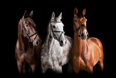Photo pour Three horses with bridle against black background - image libre de droit
