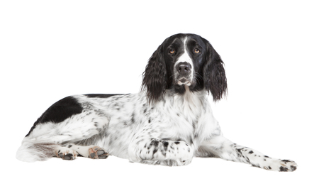 a large Munsterlander dog photographed in the studio, with white background