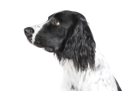 a large Muensterlaender dog photographed in the studio, with white background