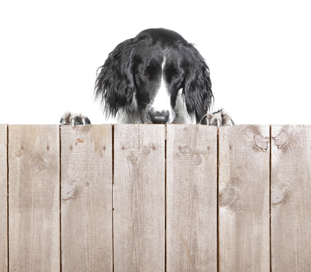 A large Muensterlaender dog behind a wooden wall without text