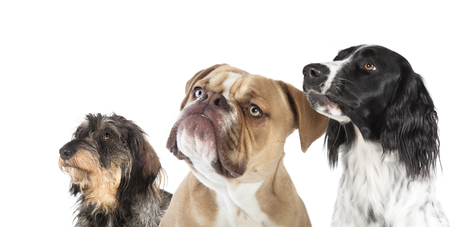 three different dogs photographed in the studio, white background