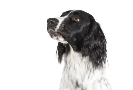 a large Muensterlaender dog photographed in the studio, white background