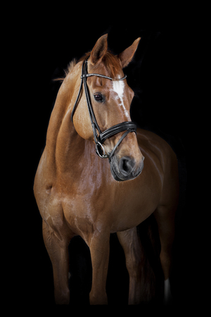 Photo pour a brown riding horse in the studio in front of black background - image libre de droit
