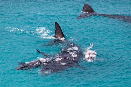 Foto de Group of southern right whales. Female whale protecting two calves. White calf is a rare individual. Mother and babies in nursery area at winter time. Nullarbor, Head of Bight, Australia - Imagen libre de derechos