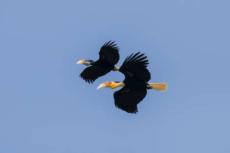 Photo pour Wreathed hornbill are flying on sky (Male and female), Khao yai national park, Thailand - image libre de droit