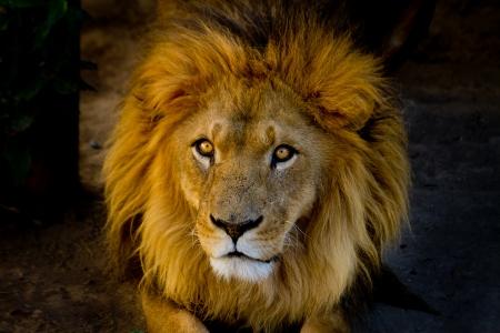 Close-up portrait of a young lion