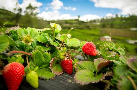 Photo pour Organic strawberry fiels - image libre de droit