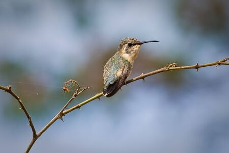 Close up shot of beautiful small hummingbird sitting on a branch of a tree. Manabi, Ecuador