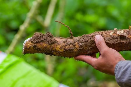 Foto für A man holding a root of yucca plant, inside of the amazon forest in Cuyabeno, Ecuador - Lizenzfreies Bild