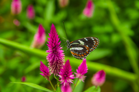 Mindo in Ecuador, a perfect spot to see some beautiful butterflies, brown and orange wings posing over a colorful flower to lick the nectar