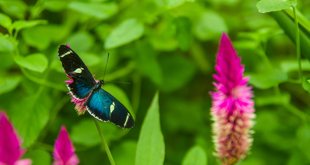 Mindo in Ecuador, a perfect spot to see some beautiful butterflies, with blue wings posing over a colorful flower to lick the nectar