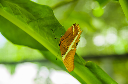 Mindo in Ecuador, a perfect spot to see some beautiful butterflies, posing over a green leafs, in Mindo