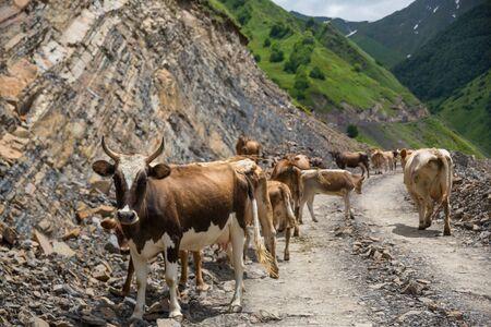 Photo pour Georgia, mountain road with cows. Mountain road to Dusheti region Alpine fields with cows. - image libre de droit