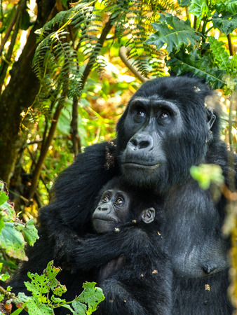 Gorrila mother and her baby in the bush of Uganda