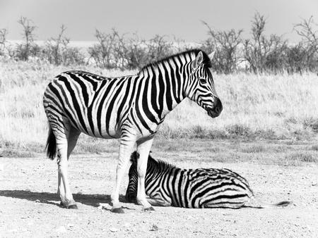 Two zebras in the savanna, Etosha National Park, Namibia, Africa. Black and white image