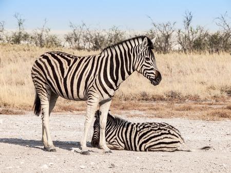 Two zebras in the savanna, Etosha National Park, Namibia, Africa