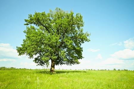 The huge old oak tree alone among the green meadows