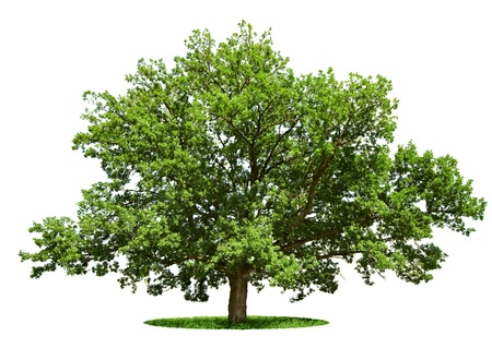 The big tree - oak is isolated on a white background