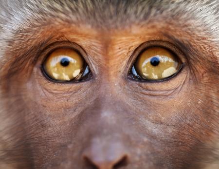 Monkey muzzle with yellow eyes close up - Macaca fascicularis