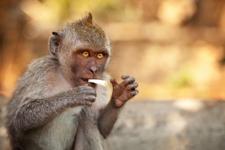 Young wild monkey with part of cigarette