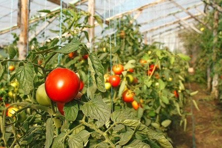 Ripening tomatoes hanging in the seasonal film greenhouse