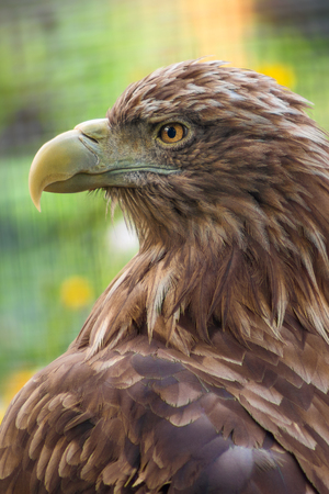 Photo for Close up eagle portrait, side view - Royalty Free Image