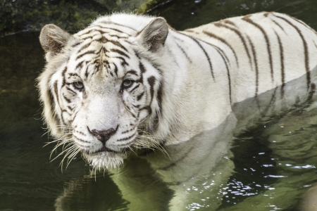 white tiger staring ahead