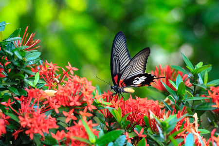 Photo pour Close up of mail related to perching on red butterfly great Mormon Ixora flower - image libre de droit
