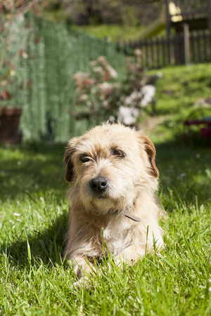 brown terrier breed dog lying on green grass lawn