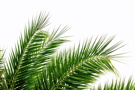 Green palm tree leaves isolated on white background