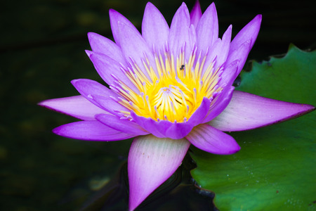 Purple lotus in a pond