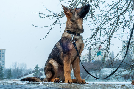 A german shepherd puppy dog on a leash in winter urban environment with snowfall