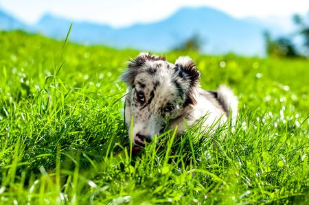 Photo pour View on a border collie puppy playing with a stick in a beautiful environment on a sunny morning with mountains in the background. - image libre de droit
