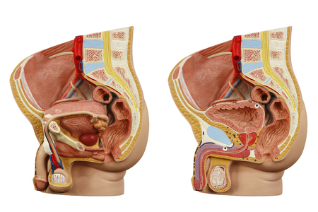 Anatomical model male pelvis