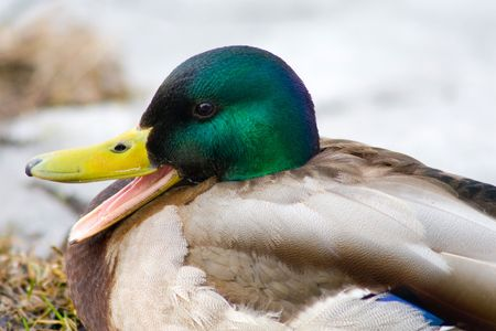 Duck with open beak