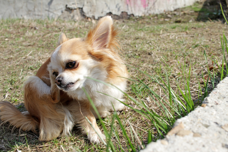 Dog Chihuahua is scratching on the green grass in the first days of spring. Dog with a parasite strap - fleas, ticks and others. Chihuahua dog scratch with paw. Healthy pets. Vet. Spring time. Collar.