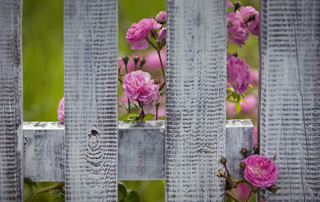 Shabby Fence With Roses Royalty Free