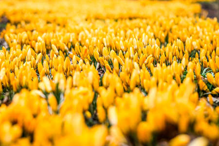 Photo pour The first beautiful yellow crocuses blooming in the spring garden, in park in sunset. Defocused - image libre de droit