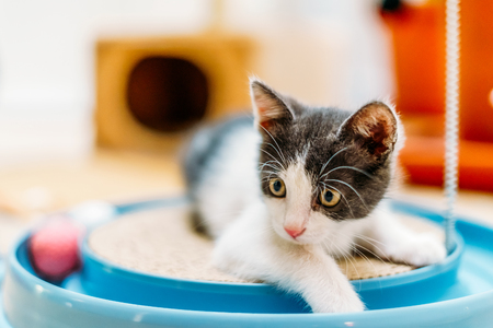 Photo pour Cute Baby Cat Playing At Home - image libre de droit